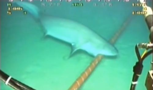 This frame grab from a YouTube video, which has garnered nearly 1 million views, shows a bluntnose sixgill shark biting a submarine cable.