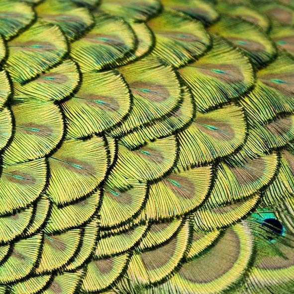 A close up image of a peacock's feathers.